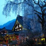 身延山久遠寺の枝垂れ桜、実相寺の神代桜