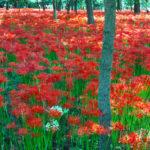 巾着田曼珠沙華公園と寺坂棚田のヒガンバナ