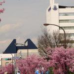 やっぱりこの時期は桜を撮らなくちゃ