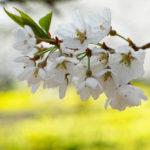 桜の甲州路、写真の旅(1)