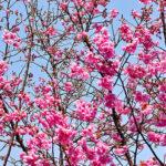 桜(陽光)開花