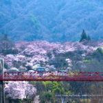 高遠の小彼岸桜