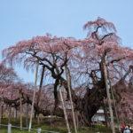 三春滝桜とカタクリの花