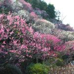 池上梅園の梅が見頃