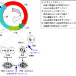 膵臓がんの臨床試験:WEE-1阻害薬