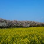権現堂堤の桜、満開でした。