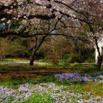 アクティブ・シニアの新宿御苑 桜撮影の巻